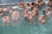 Snow monkeys (Japanese macaque) relaxing  in a hot spring pool (onsen)