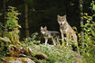 Wolf mother with cub