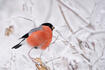 Bullfinch on the snowy branches.