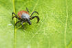 The Sheep Tick, (Ixodes ricinus)